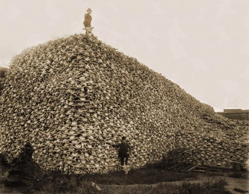 Bison bones were used in refining sugar, and in making fertilizer. Massacred all the bisons